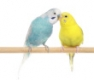 Hullámos papagáj eleség