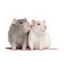 Patkány- és egéreledelek