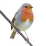 Vadon élő madaraknak